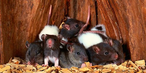 К чему снимся мыши и крысы