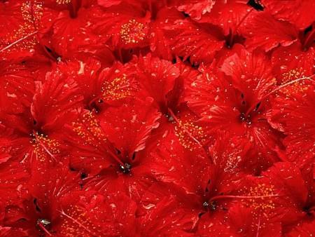 Сонник красные цветы