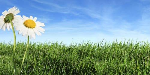 трава сонник зеленая лежать