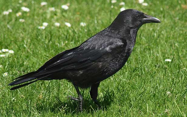 Сонник Маленькая Черная Птица