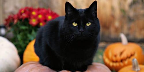 Большой чёрный кот сонник