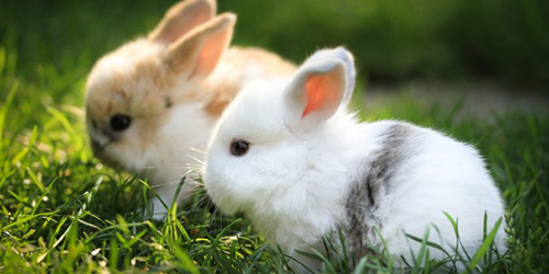 снится кролик чему к кровью с