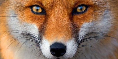 Сонник поймать рыжую лису